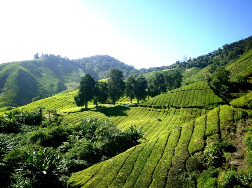 retraite_inde_plantation_tea