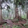 Retraite_de_Shinrin_Yoku_arbres