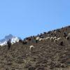 retraite_yoga_nepal_octobre_2019_ moutons